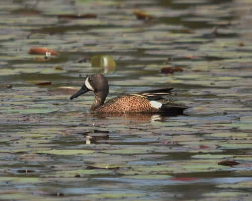 Blue winged Teal - How I Made the TSA Guy at the Airport Want to Pray for Me