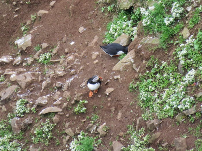 Puffins on our Self Guided Walking Tour of Ireland