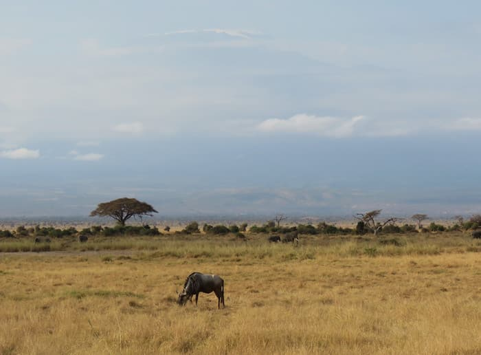Lone Wildebeast Kilimanjaro - Is Your Husband a Lone Wildebeest?