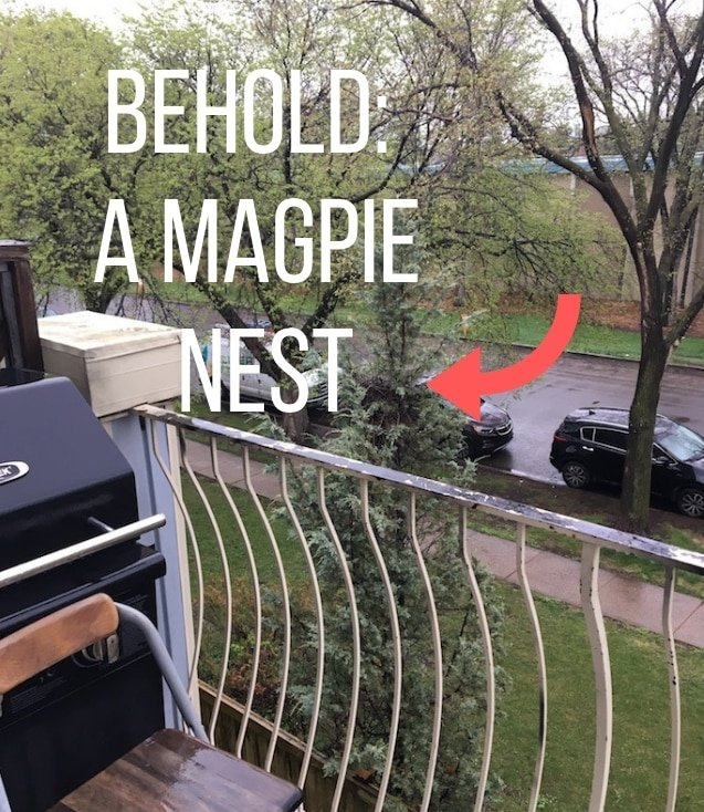 The magpie nest preventing my podcast