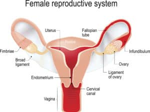 female reproductive system 300x224 - Terms About Sex Adults Should Know