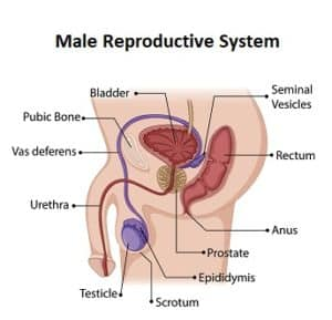 male reproductive system 300x289 - Terms About Sex Adults Should Know